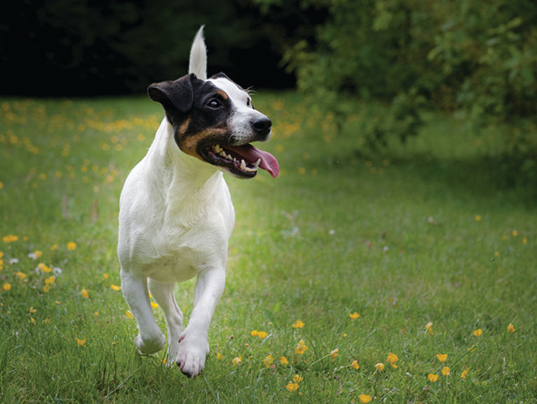 Fox terrier running in field